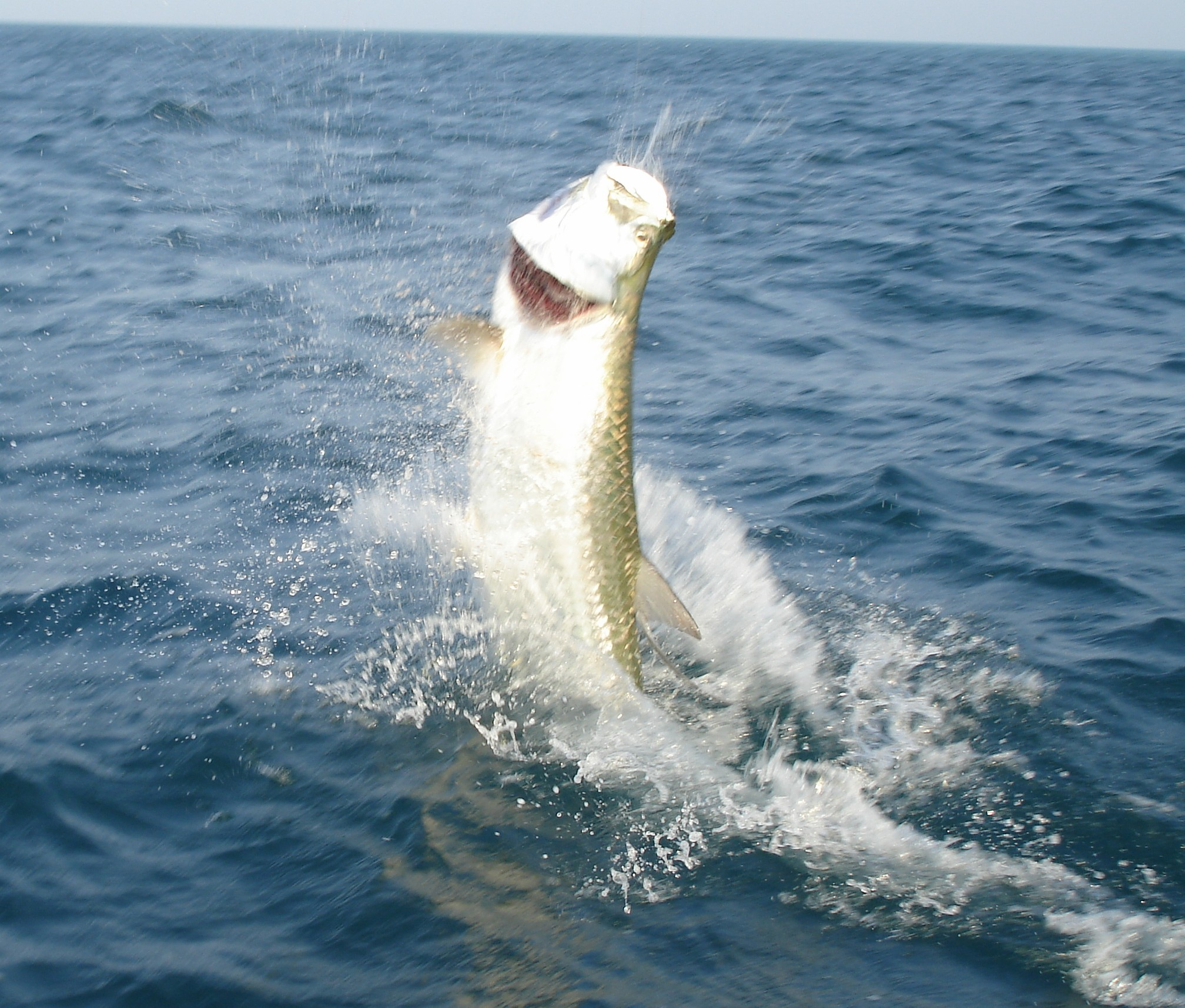 Of a hooked tarpon jumping while fishing off the beach ofboca grande