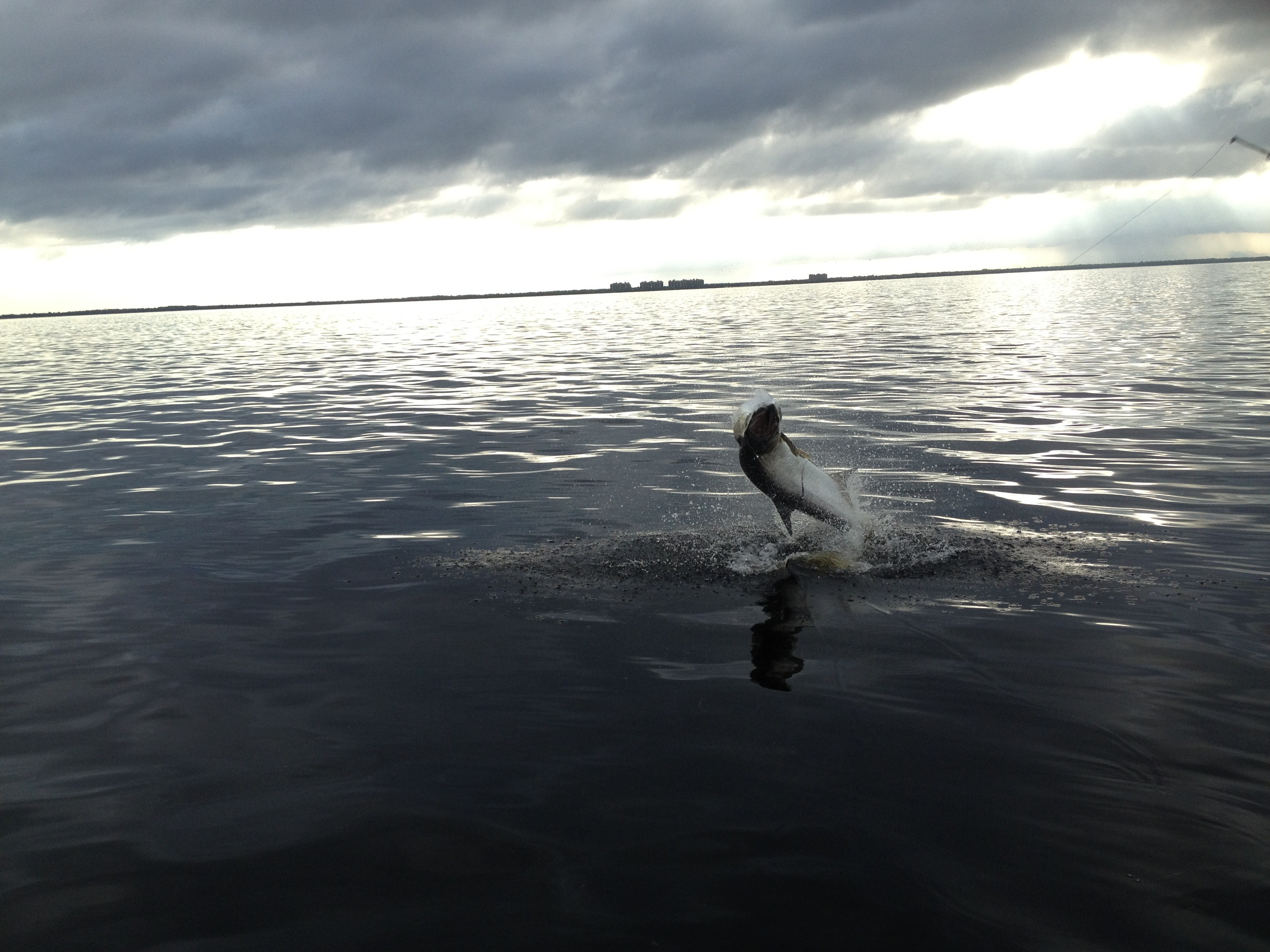 Big tarpon jumps on Charlotte Harbor's eastern shoreline.