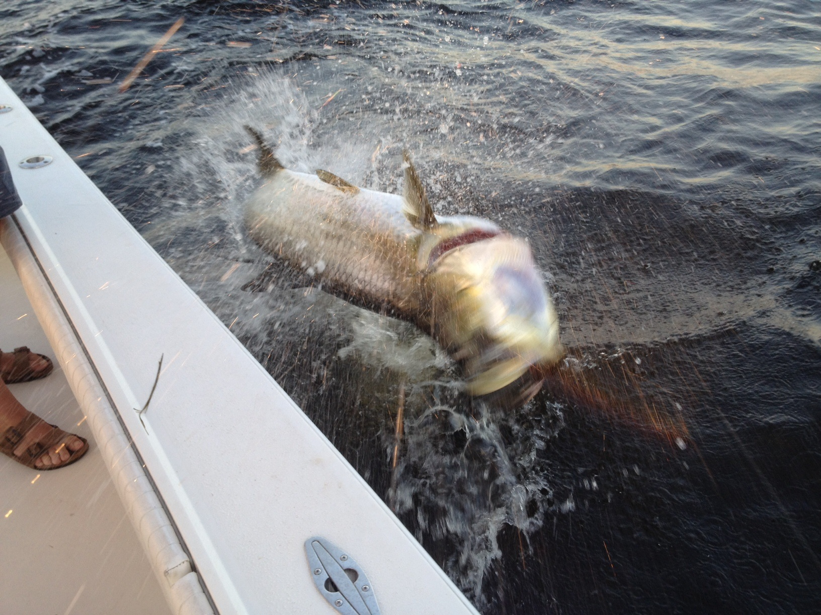 Wild tarpon jumping near the boat in Charlotte Harbor