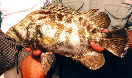 sight fishing for tripletail